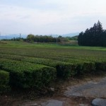 茶畑の緑が綺麗な景色