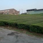 矢岳牧場周囲の茶畑